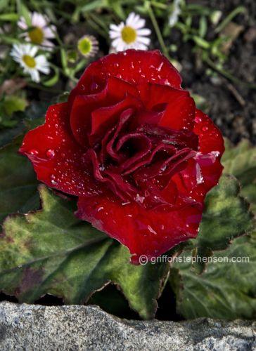Unfolding Scarlet