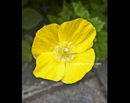 Common Yellow Poppy copy